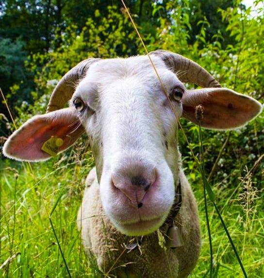sheep from Schloss Wartegg